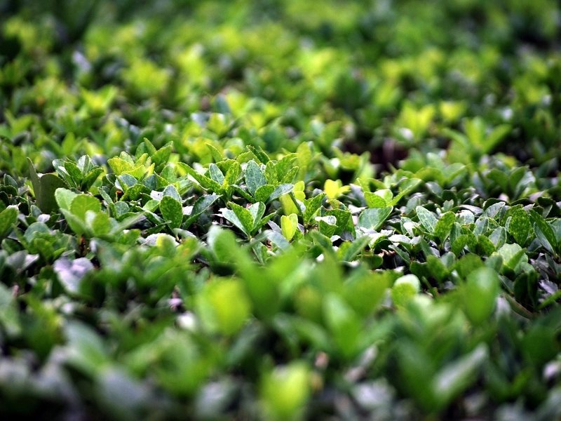 Are Your Boxwoods Healthy?